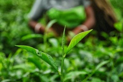 Dam Dim Tea Gardens