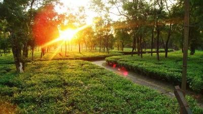Dam Dim, The Barrons Tea Estate