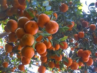 Sitong Orange