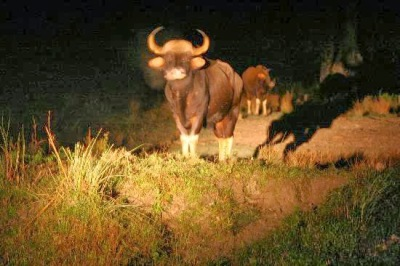 Bison at Jaldapara